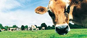 cow days image.jpg