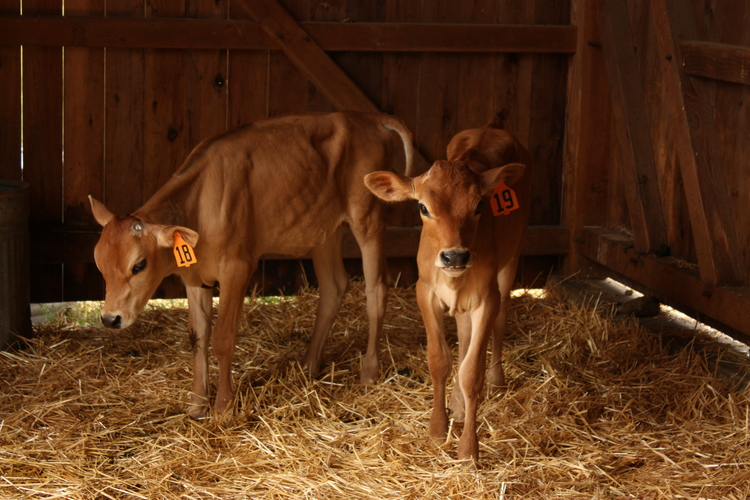 baby-cows.jpeg