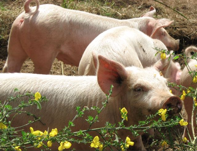 Seabreeze Farm Pigs