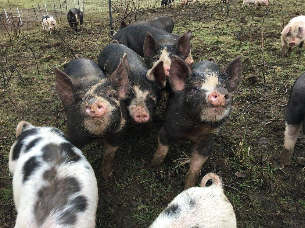 Heritage Pigs / Pachamama Farms