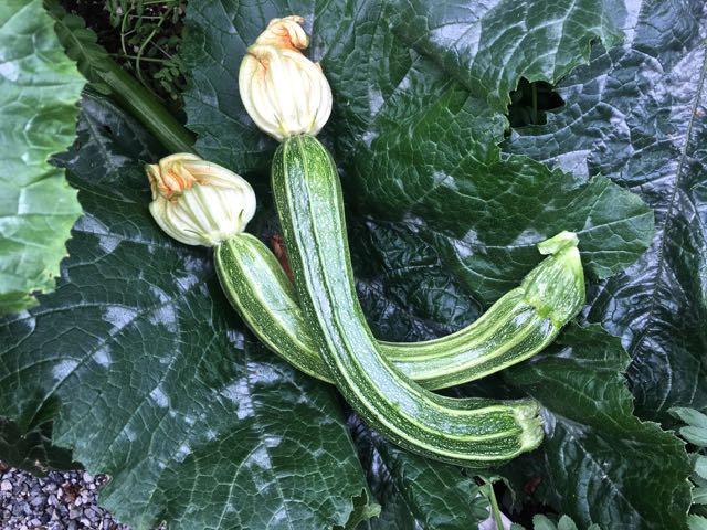 zucchini-leaves.jpg