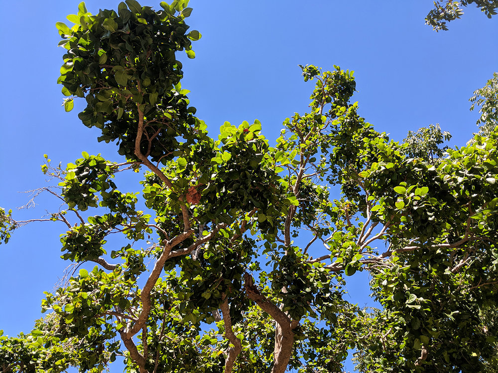 Coccoloba Diversifolia - Pigeon Plum_sky-view.jpg