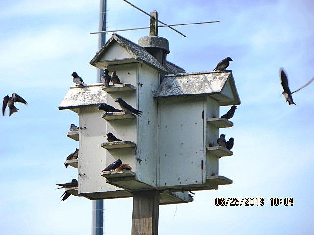 GOAS-maintained Purple Martin colony was at near capacity. All but two of 14 apartments were occupied.