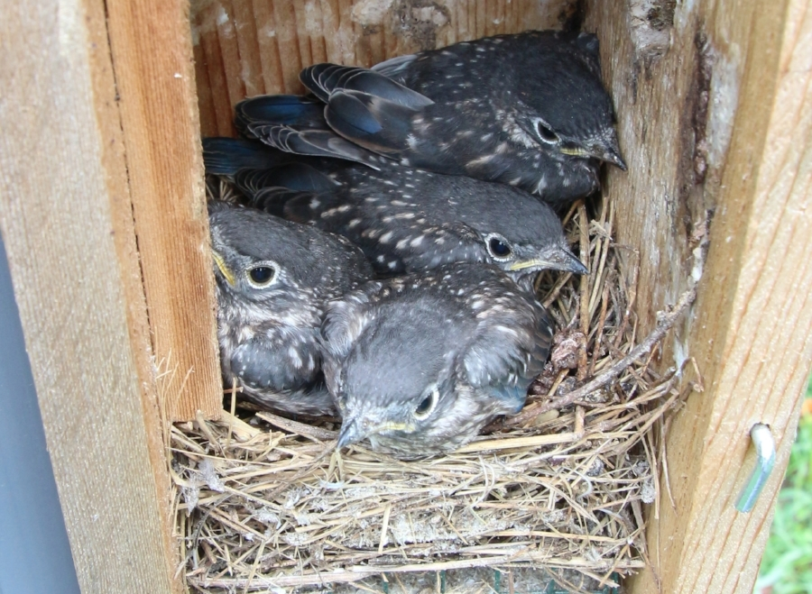 An intimate view inside nest box 13. These Bluebird chicks fledged within a few days of their portrait.