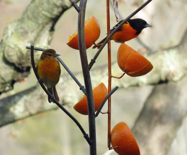 Orioles love oranges and jelly in spring.