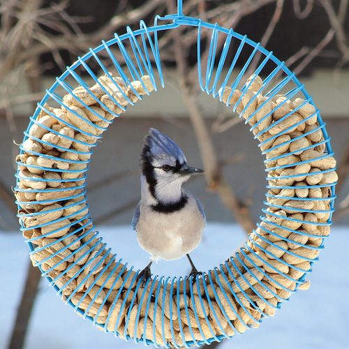 Whole peanut feeder attracts larger birds.