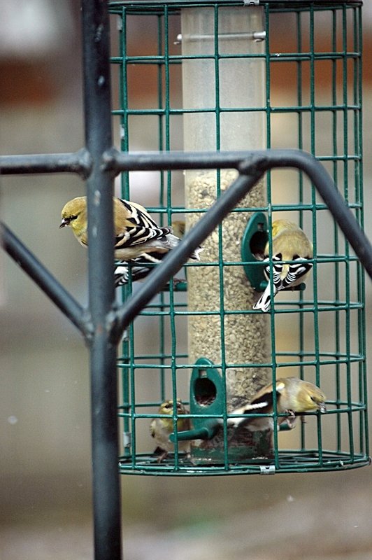 American Goldfinches in winter dress.