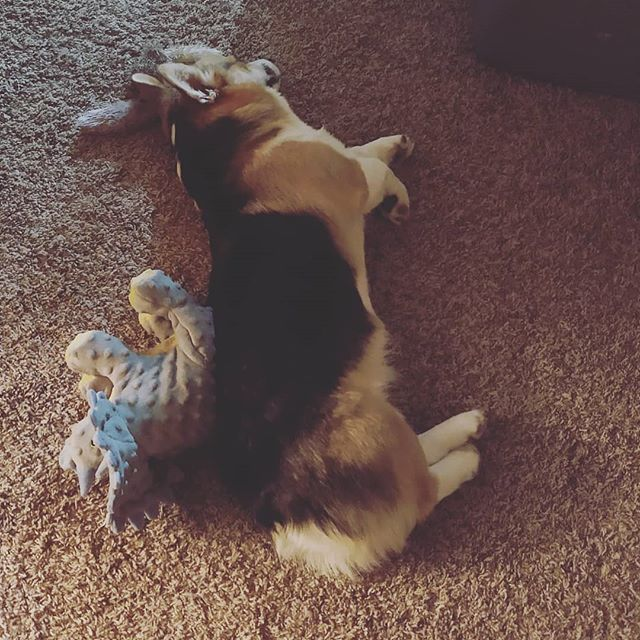 Poor little guy was too tuckered to carry on, and Mom and Dad weren't even close to ready for bed. Had to turn to some close friends for support. #corgitoys #dramacorgi #dinocuddles #sleepycorgi