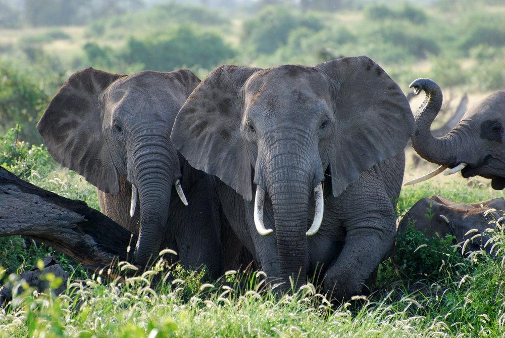 Elephant Product Section- WWF (C) Krista Lyons.jpg