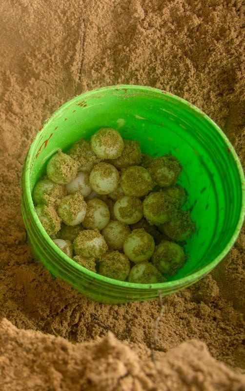 Sea turtle eggs - Georgina Goodwin - Shoot the Earth - WWF UK.jpg