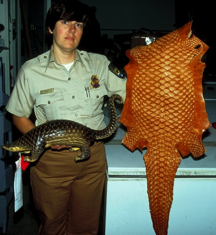 Pangolin skins and taxidermy - Wil Luiijf - WWF.jpg