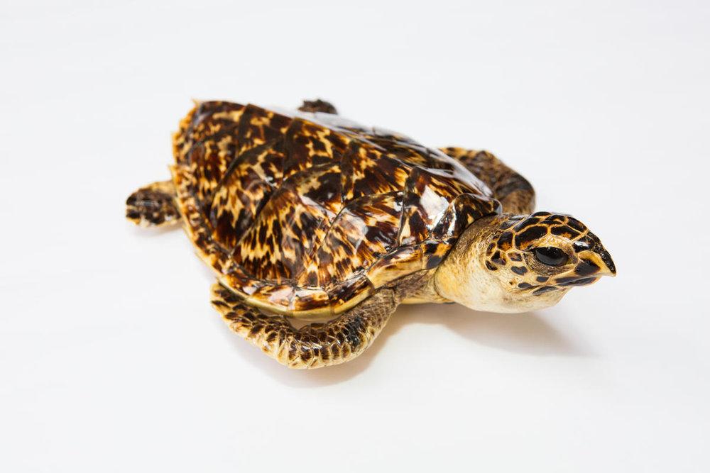 Sea turtle taxidermy - WWFUS - Keith Arnold.jpg