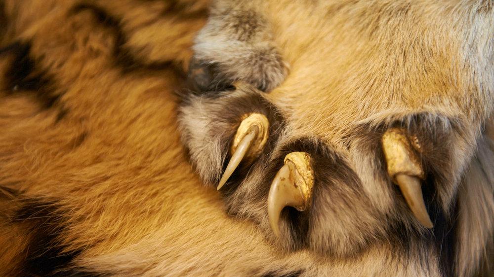 Tiger claws - Ola Jennersten - WWF-Sweden.jpg