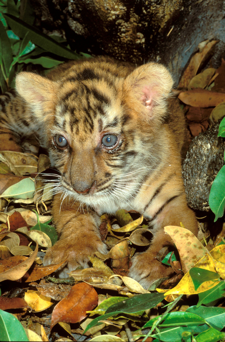 Tiger cub - Martin Harvey - WWF.jpg