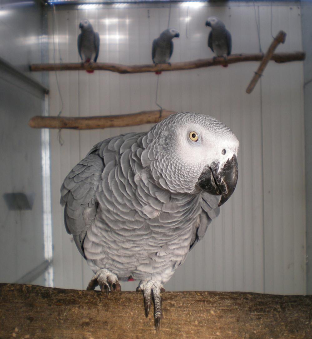 CITES Species - African Grey Parrot.png