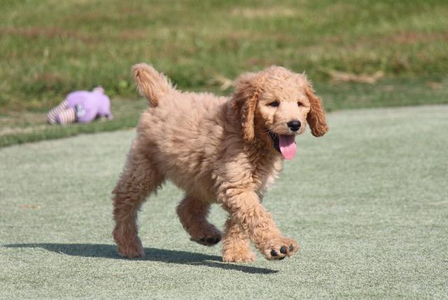 Goldendoodle at Play