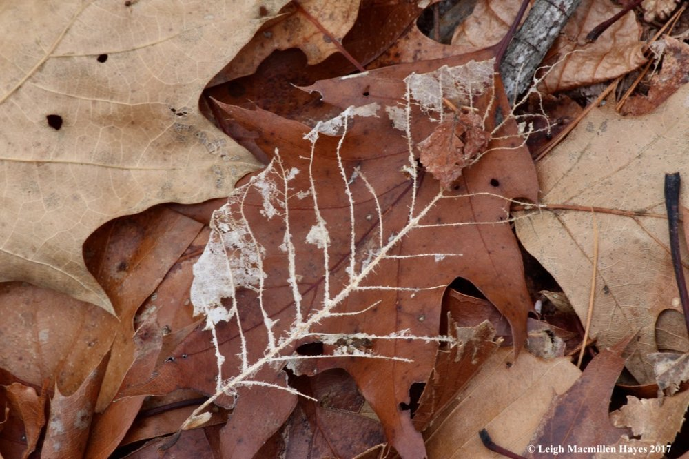 f-beech-leaf-skeleton.jpg