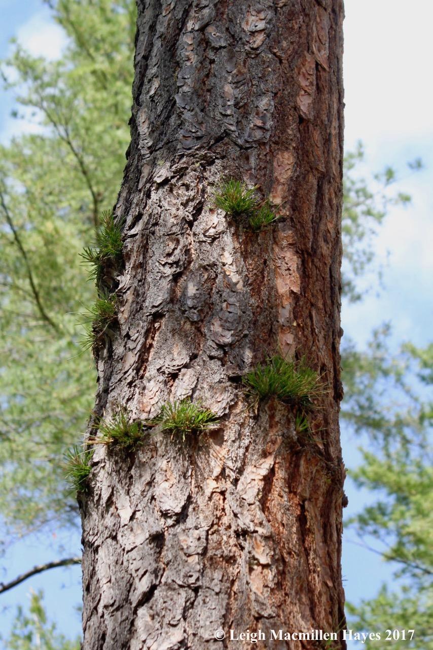 l-pitch-pine.jpg