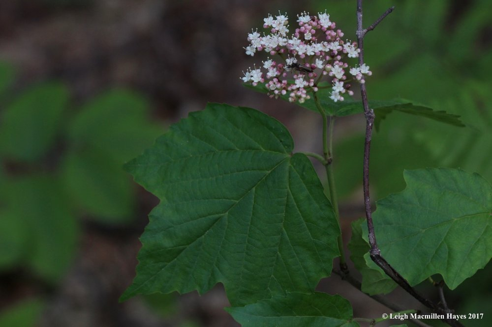 l-maple-leaved-viburnum.jpg