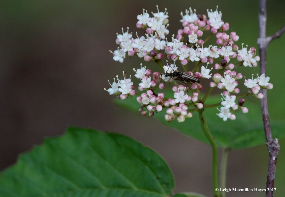 l-beetles-canoodling-on-maple-leaved-viburnum-2.jpg