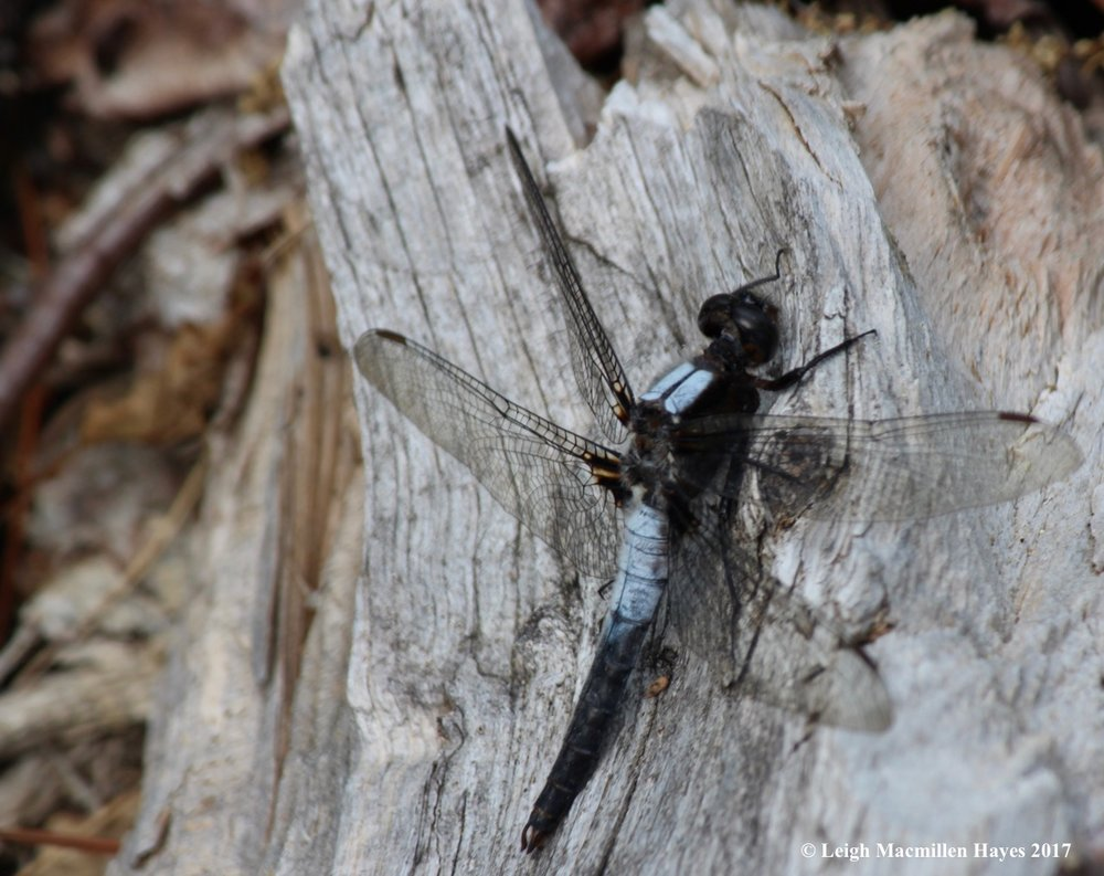 l-chalk-fronted-corporal.jpg