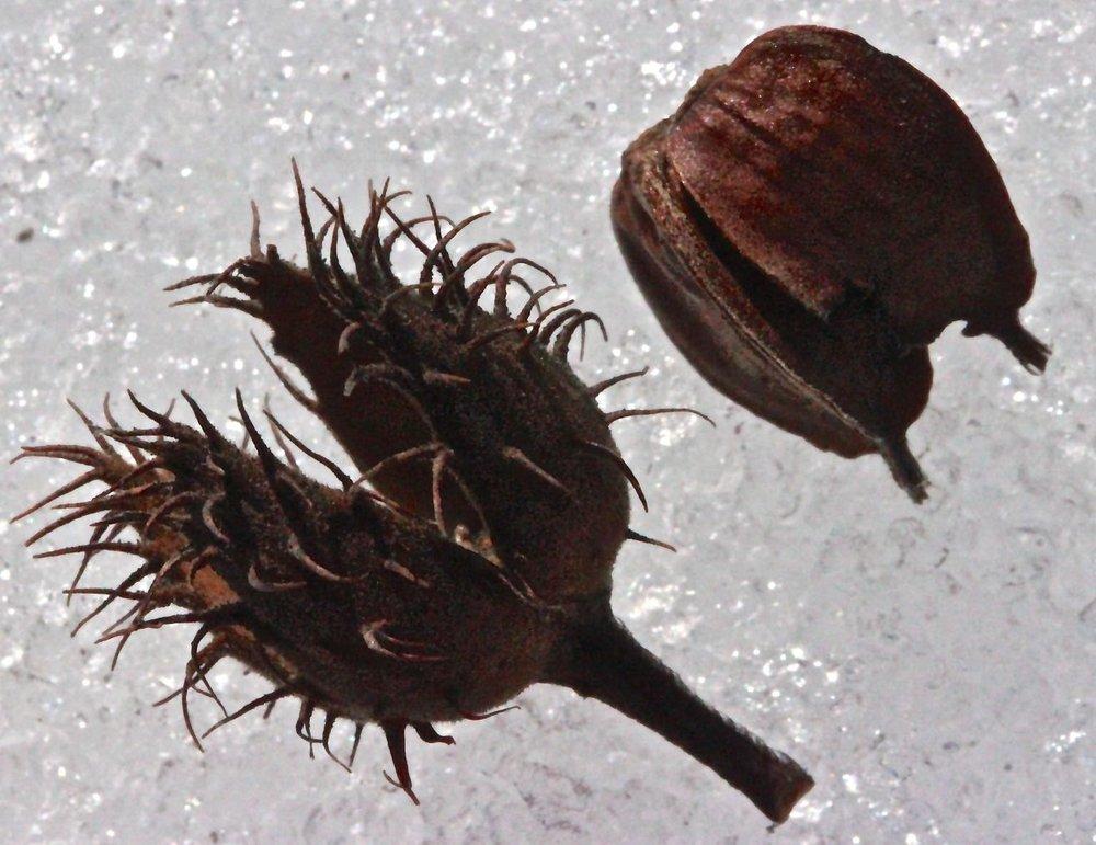 sb-beech-nut1.jpg