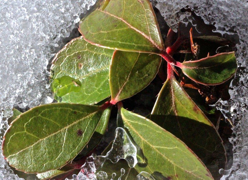 sb-wintergreen-2.jpg