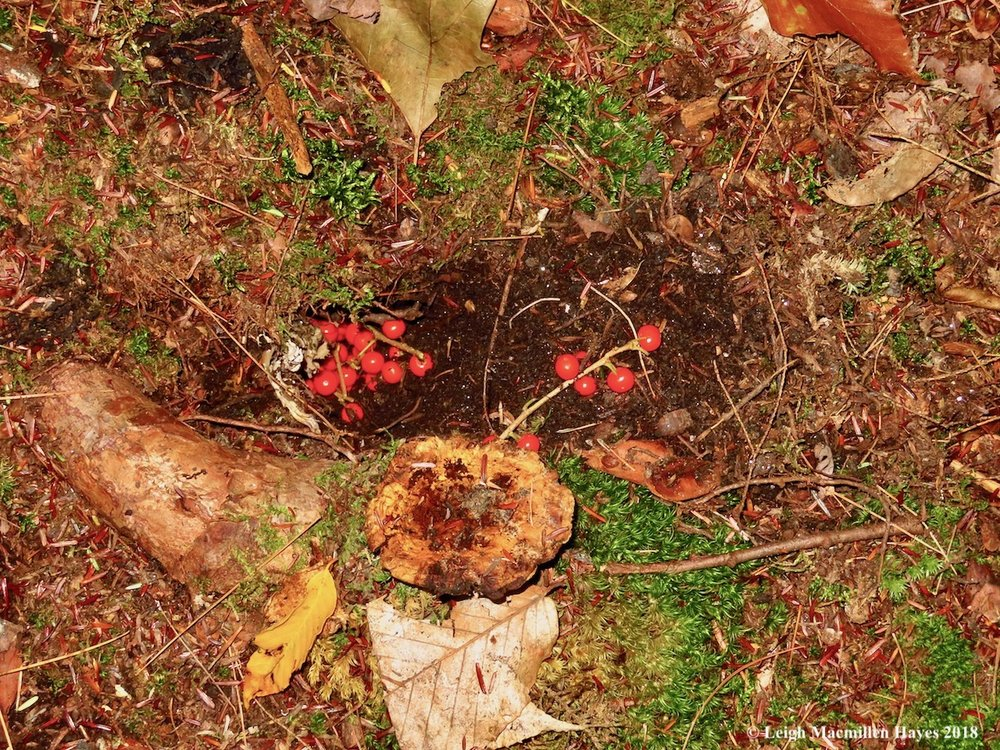 15-winterberry-fruits-buried.jpg