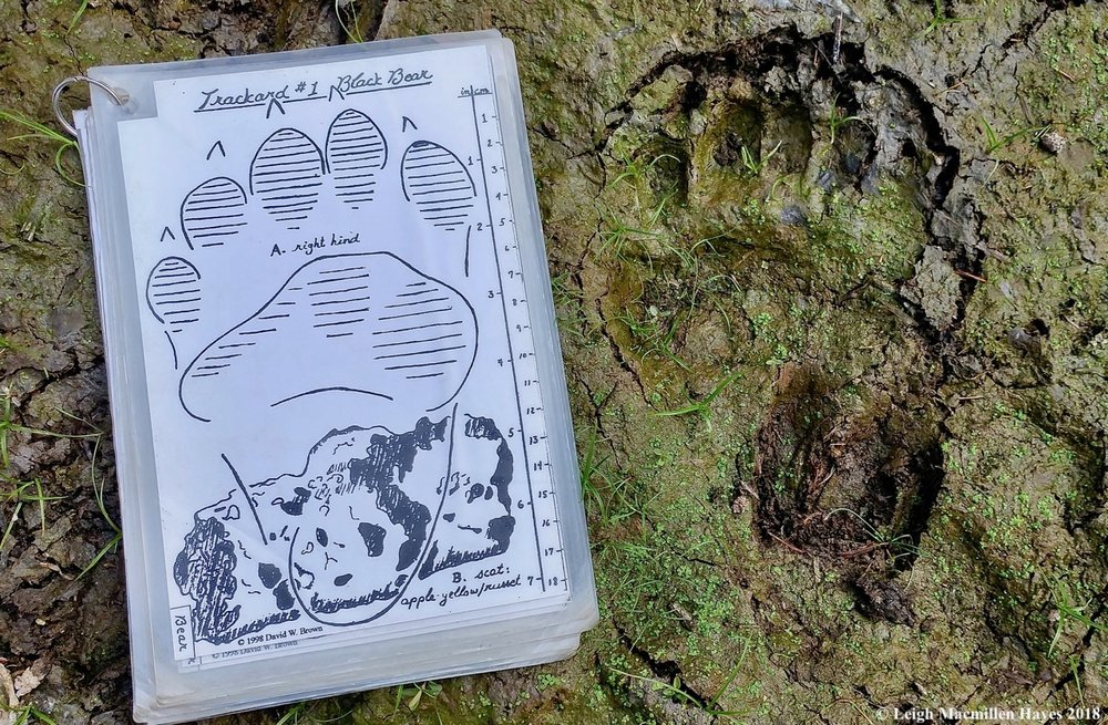 Bear print and deer print in a kettle bog in Lovell