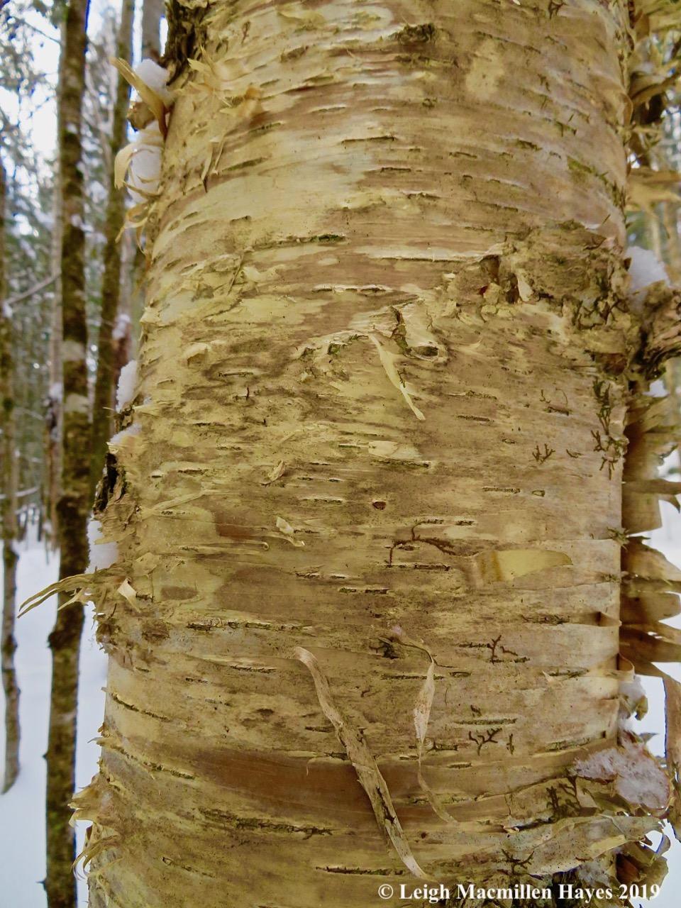 6-yellow-birch-bark.jpg