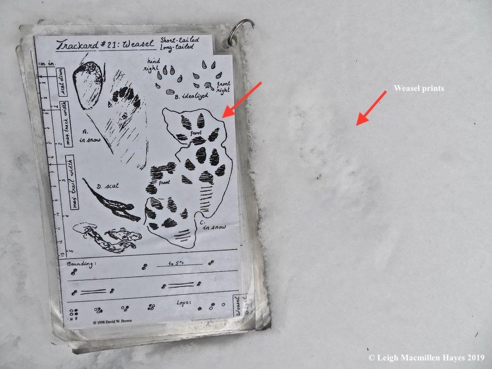5-weasel-prints.jpg