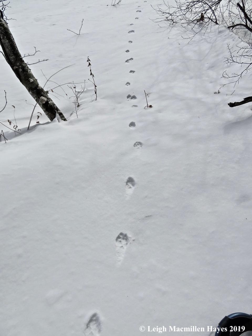 13-following-a-red-fox.jpg