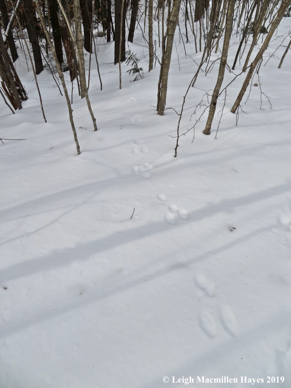 20-snowshoe-hare.jpg