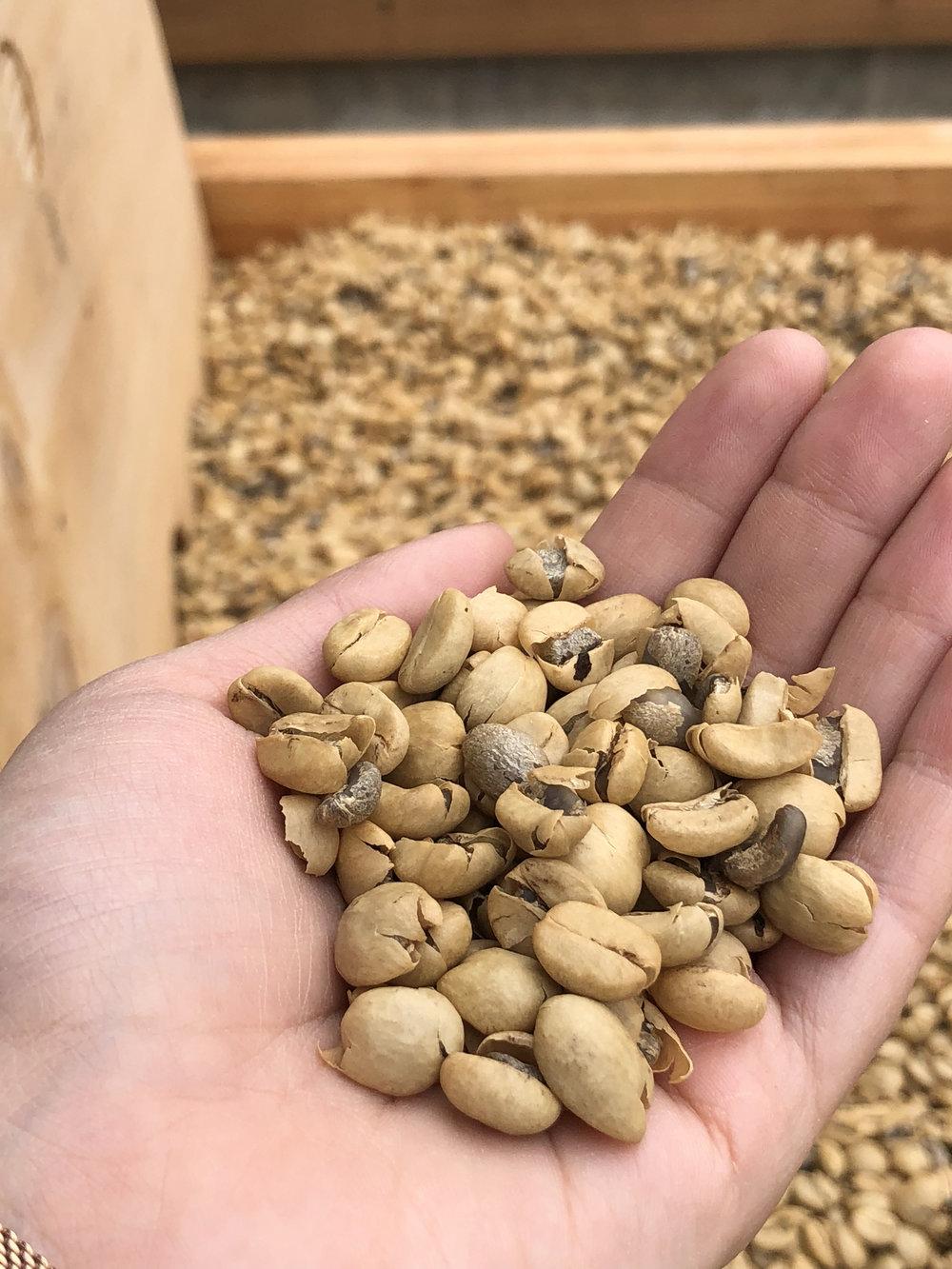 Sun-dried coffee beans