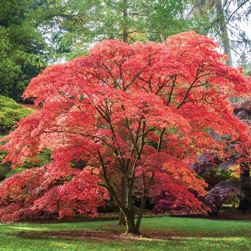 japanesemaple-1.jpg