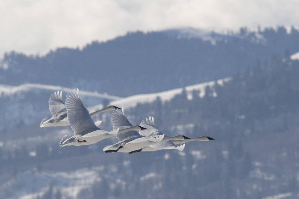 Swans Seeking Ice-Free Water
