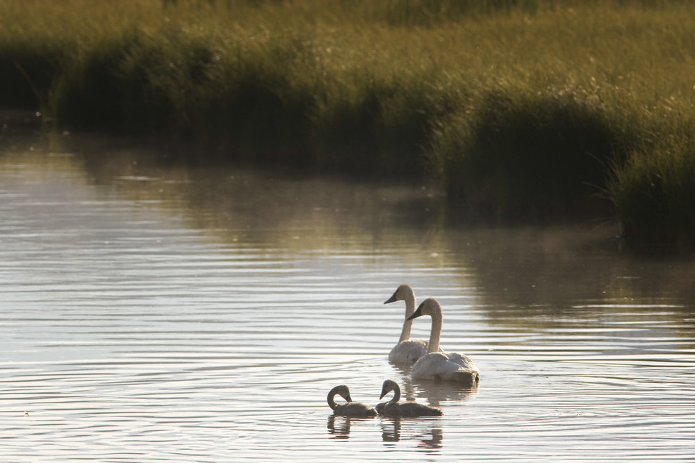 Cygnets Grow Rapidly