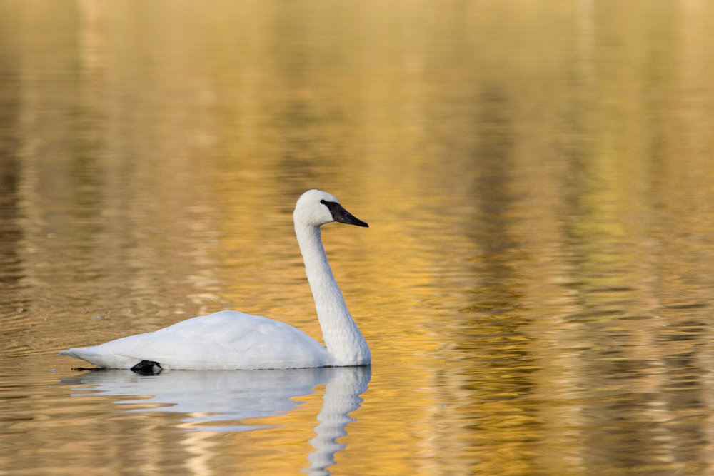 Trumpeter Swan on Lake