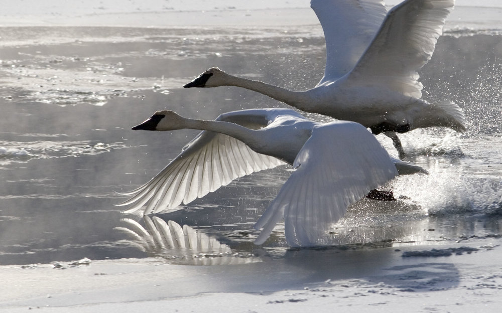 Swans Take Flight