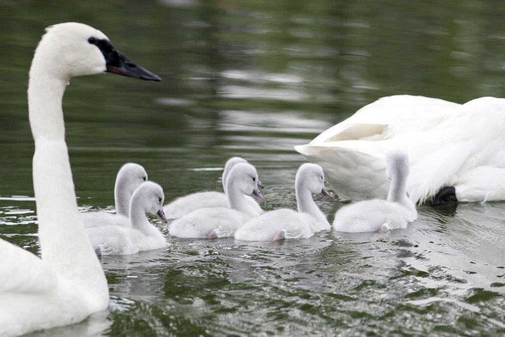 Swans Protect Cygnets