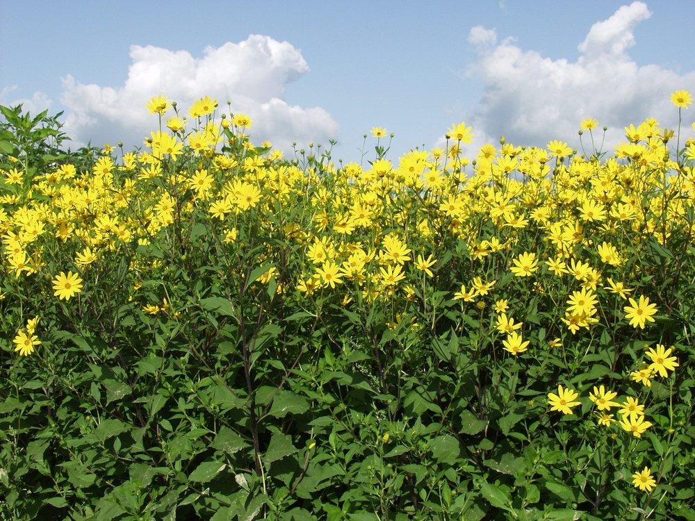 AU_topinambur-fleurs.jpg