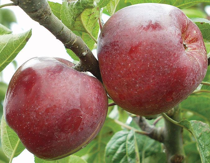 belmac apple tree.jpg