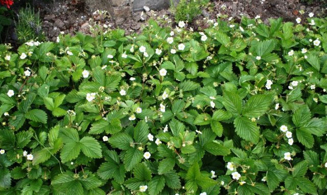 fragaria alpina Alpine strawberry plants.jpg