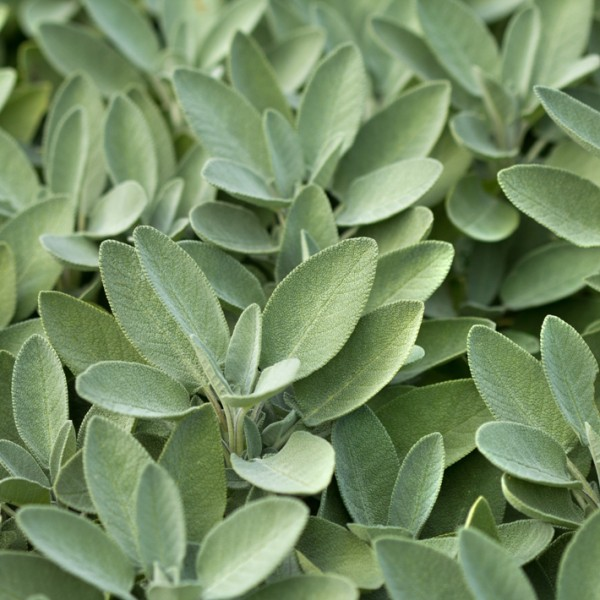 MED_salvia officinalis.jpg