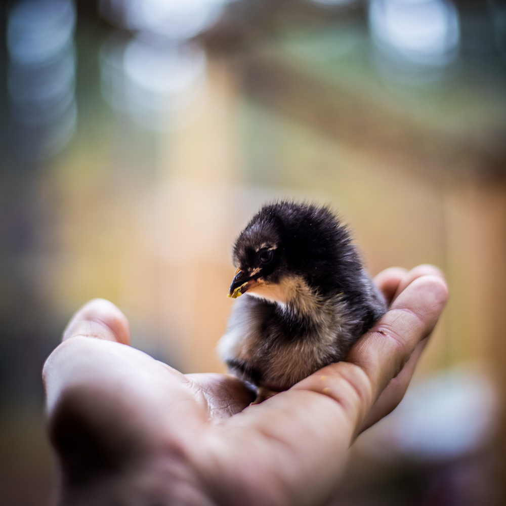 chicks-3822