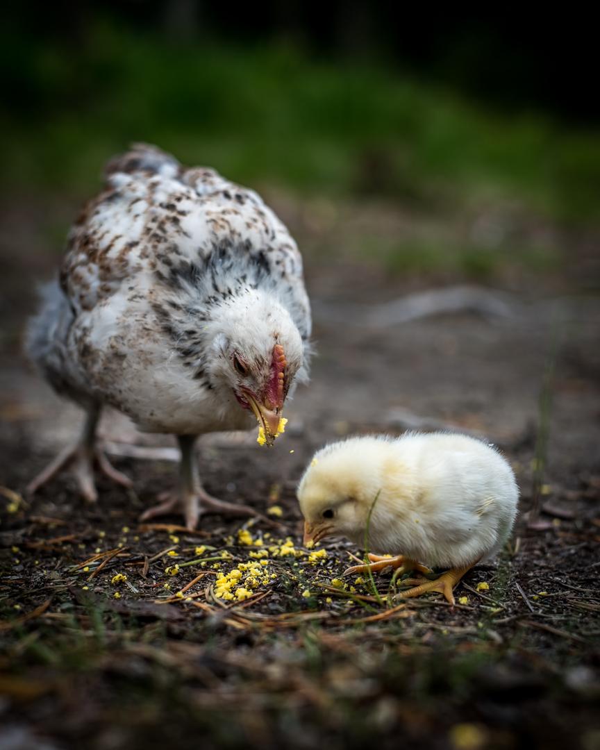chicks-0569