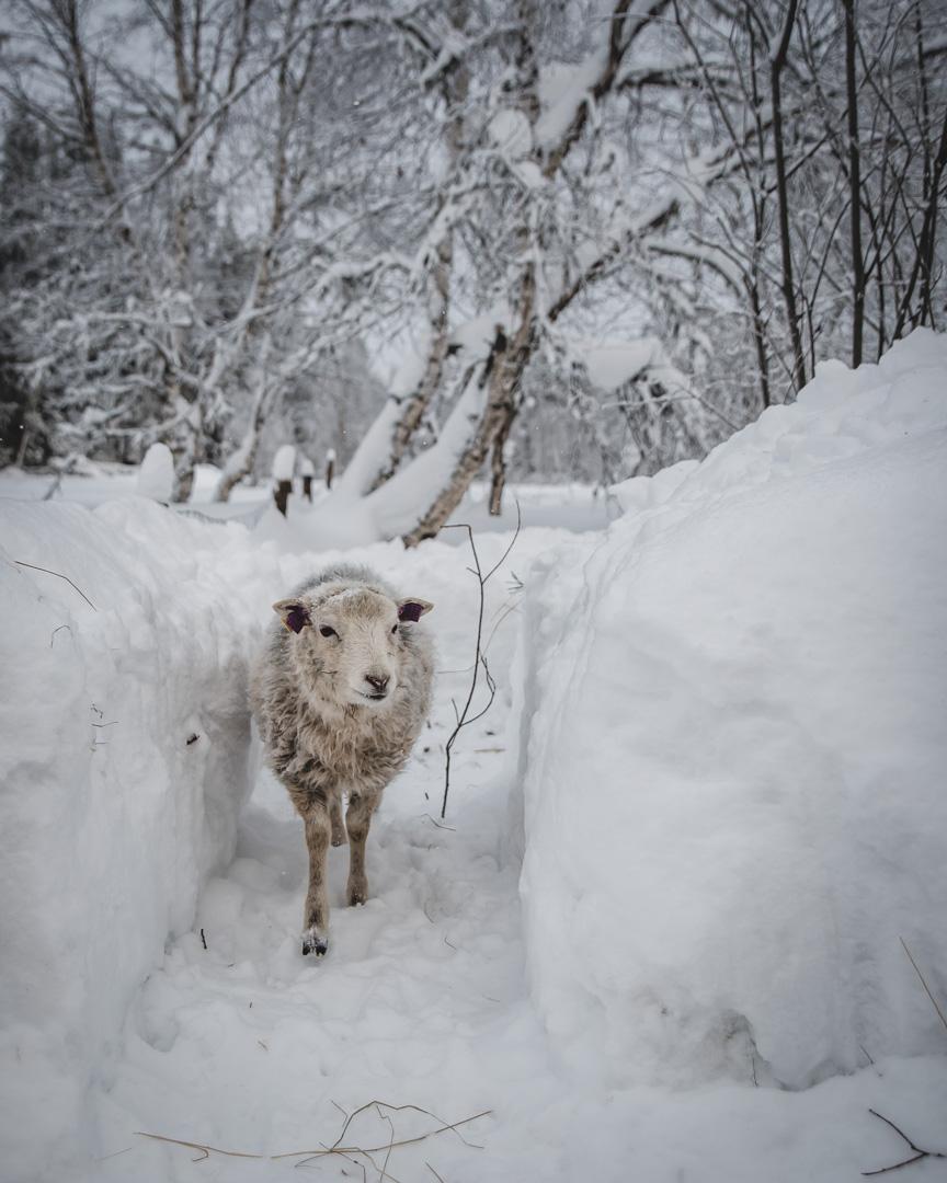 fåren-10