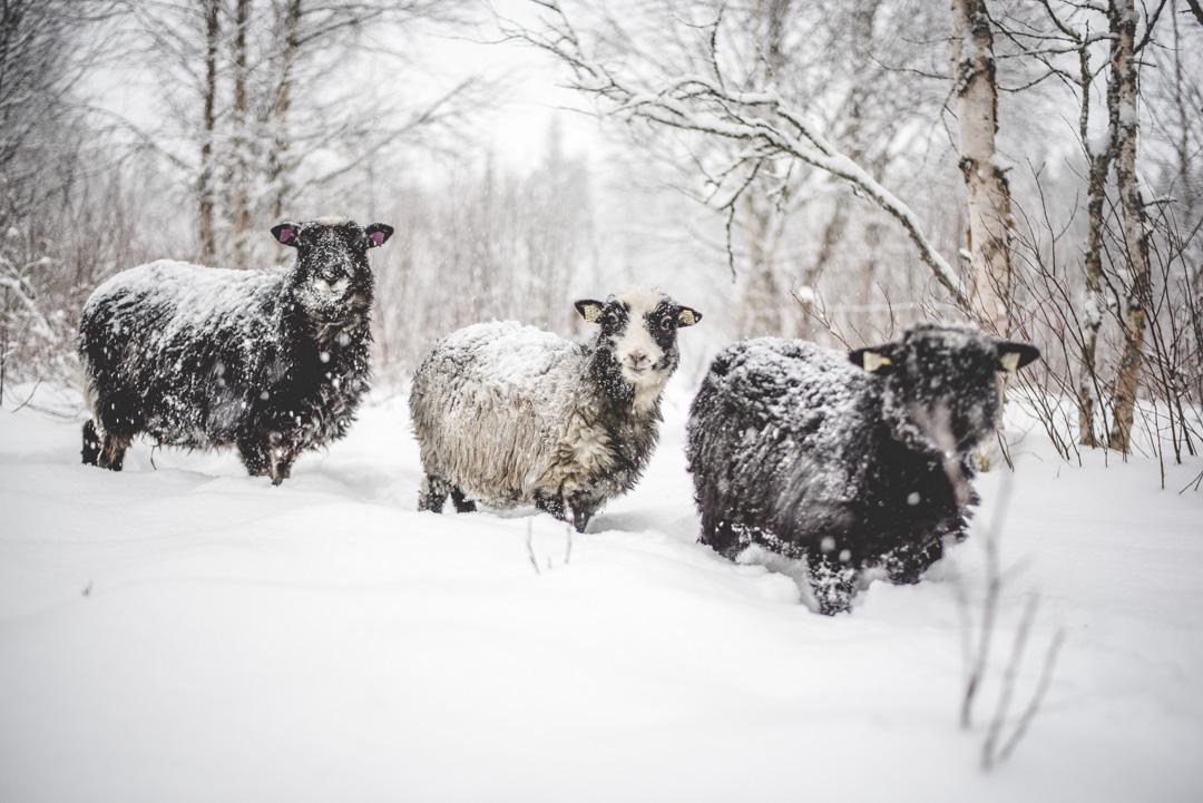 fåren-3