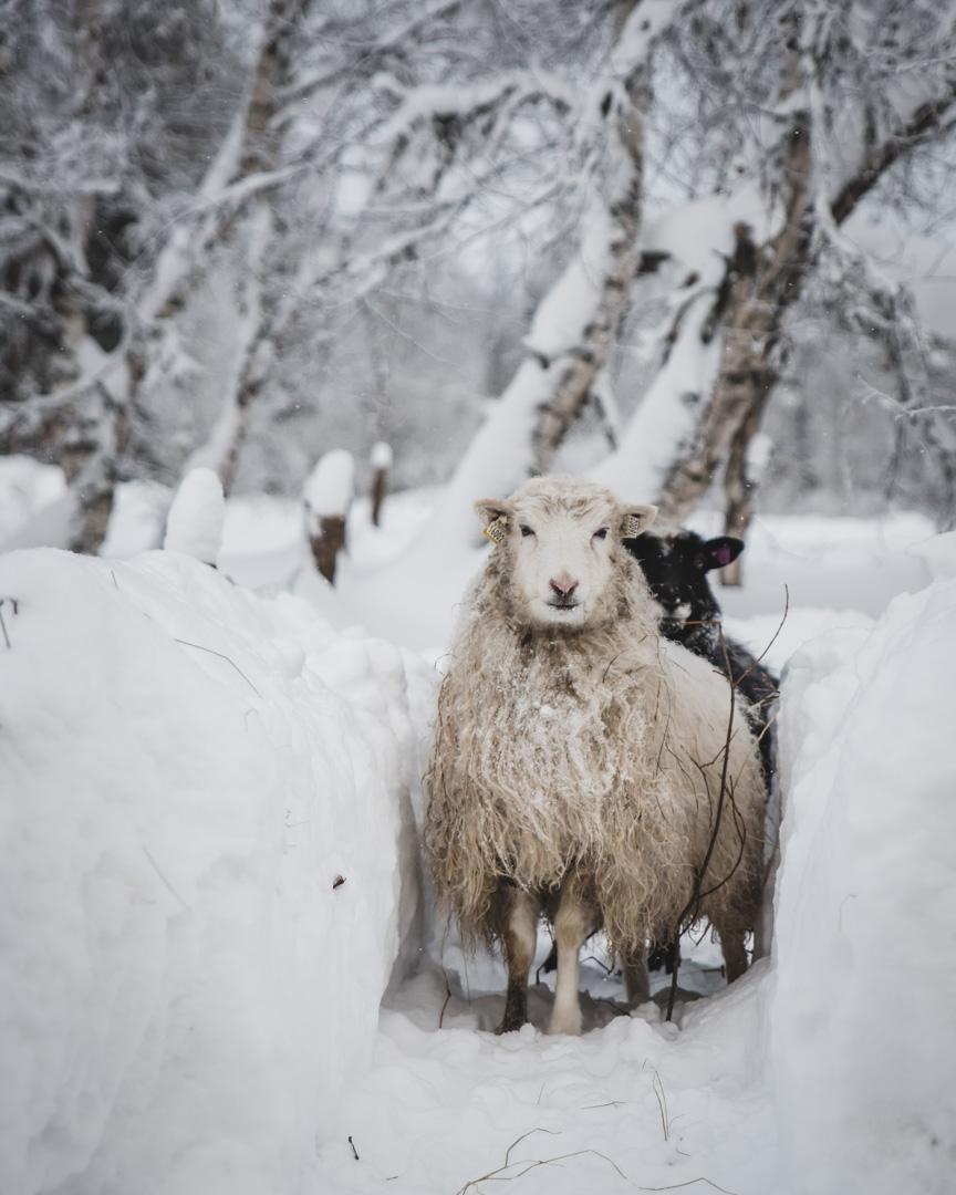 fåren-8