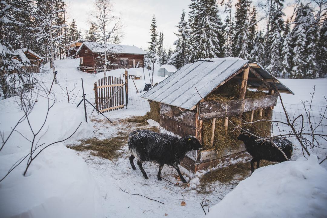 fåren-88